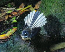 Known for its friendly 'cheet cheet' call and energetic flying antics, the aptly named #fantail is one of the most common and widely distributed native birds on the New Zealand mainland.