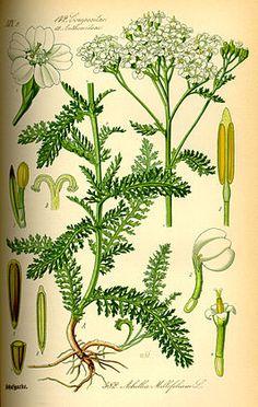 Achillea millefolium Menstruatiepijn
