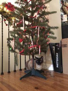 StormHaven Ronan, ('Pippyn') seal point boy under the tree.