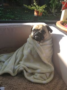 Aww.. A puggrito. And by that, I mean a pug in a burrito.