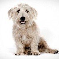 #dogalize Razas de Perros: Glen of Imaal Terrier caracteriticas #dogs #cats #pets