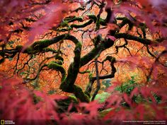 Looking into another world... the great Japanese maple tree in the Portland Japanese Garden (Photo and caption by Fred An).
