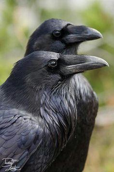 http://www.pinterest.com/thewildanimalst/beautiful-animal-photos-group/  Ravens <3