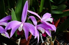 Laelia perinii - inflorescence | Seen at Botanical Garden Ha… | Flickr