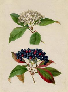 Viburnum cassinoides (Witherod, a shrub also known as the wild raisin) by Isaac Sprague. 1. Detail of leaves and flower. 2. Detail of leaves and fruit.