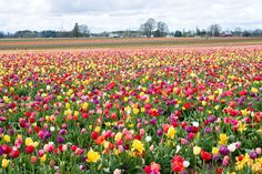 These beautiful garden, or should I say - farm, of tulips of assorted colors is located in Oregon, USA. These lovely    and colorful flowers were used in Tulip Festival in Woodburn, Oregon in 2007.