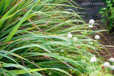 andropogon citratus - Pesquisa Google
