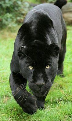 ~~Black Jaguar by - cat Big Cats, Cool Cats, Cats And Kittens, Jaguar Noir, Beautiful Cats, Animals Beautiful, Animals And Pets, Cute Animals, Wild Animals