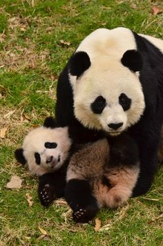 Bao bao - panda cub panda животные и забавности Panda Love, Cute Panda, Cute Baby Animals, Animals And Pets, Wild Animals, Photo Panda, Baby Panda Bears, Baby Pandas, Mundo Animal