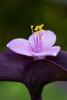 Setcreasea pallida 'Purple Heart' plant