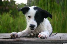 ... Mutt Puppies, Saint Bernard Puppies and Australian Shepherd Puppies