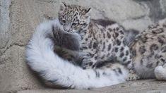 Snow Leopard baby ~