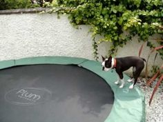 Boston Terrier bouncing on trampoline - YouTube