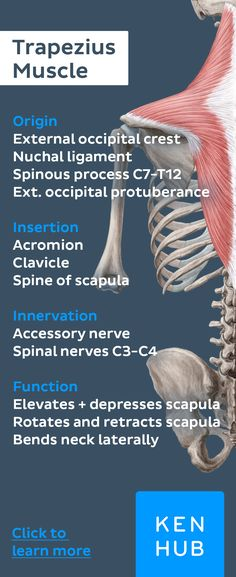 The trapezius stabilizes and secures the shoulder blade at the thorax and fulfills numerous tasks. Pin to memorize the #musclefacts of this important muscle! #learn #anatomy