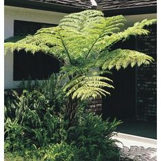 Australian Tree Fern - Lowe's Fast-growing tree fern Large, fine bright green fronds Adds a tropical effect Great specimen or accent Tropical Plants, Cactus Plants, Australian Tree Fern, Balinese Garden, Aquaponics Kit, Fast Growing Trees, Growing Orchids, How To Attract Hummingbirds, Flower Lights