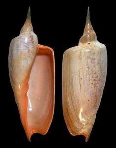 Zidona dufresnei dufresnei (Donovan, E., 1823) Angular Volute Shell size 100 - 270 mm Rio de Janeiro, Brazil - C Argentina