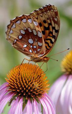 I ❤ butterflies . . . Great Spangled Fritillary