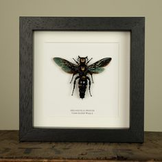 Giant Scoliid Wasp (XL) in Box Frame (Megascolia Procer)