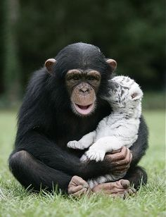 A baby tiger whispering a secret to the baby chimp Anjana