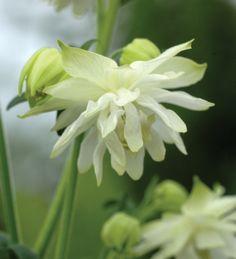 Aquilegia vulgaris 'Lime Sorbet' Seed Catalogs, Flower Seeds, Colorful Flowers, Amazing Flowers, White Flowers, Mary Flowers, Summer Flowers, Green Flowers, Shrubs