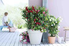 HONSELERSDIJK - De Mandevilla is één van de meest dankbare tuinbloeiers. Je ziet de plant vooral terug in potten op balkon en terras. Vanaf mei tot ver in het najaar blijft de plant onophoudelijk bloeien zonder ingewikkelde verzorging. Mei is een uitstekende maand om de Mandevilla een plekje te geven. Bloemenzee De Mandevilla zorgt Mandeville Plant, Love Garden, Garden Inspiration, Container Gardening, Outdoor Living, Planter Pots, Flowers, Mai, Small Apartments