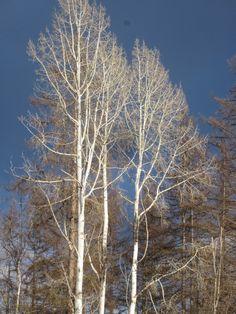 Shining Birch.