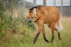 Maned Wolf - The maned wolf is the largest canid in South America. It is also the tallest wild canid in the world, its stilt-like legs a useful adaptation for spying prey over the tall grasslands where it lives. Despite its name, the maned wolf is not a wolf at all, nor is it a fox, coyote, or dog. It is the only member of the Chrysocyon genus, making it a truly unique animal, not closely related to any other living canid.