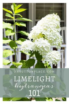 All About Limelight Hydrangeas | How to grow limelight hydrangeas | How to dry limelight hydrangeas | How to make a dried hydrangea wreath | How to prune limelight hydrangeas.