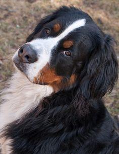 My Mr. Darcy by Marilyn Sonnie, via 500px. Bernese Mountain Dog