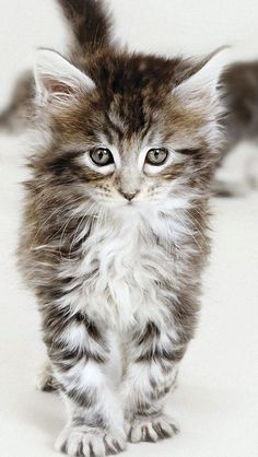 Maine Coon kitten If you love pets, go here! http://myhobbies.biz/ - Spoil your kitty at www.coolcattreehouse.com