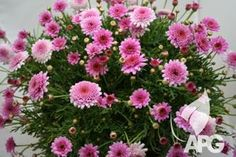 argyranthemum tracey  compact shrub suitable for gardens & large tubs