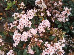 Indian Hawthorn - blooming - front garden has a hedge of these right now. Mid-March and the blooms and new growth are showing. Flowering Shrubs, Trees And Shrubs, Evergreen Shrubs, Pink And White Flowers, Colorful Flowers, Centipede Grass, Zoysia Grass, Pink Perennials, Bermuda Grass