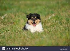 longhaired-collie-puppy-ERHJB6.jpg (1300×955)