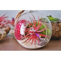 Tillandsia ionantha 'Fuego' -oplątwa | Zielony-parapet Apartment Plants, Air Plant Terrarium, Free Plants, Water Plants, Wool Felt, Color Mixing, Christmas Bulbs, Holiday Decor, Handmade