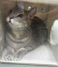 JACOB - A1082282 - - Manhattan ***TO BE DESTROYED 07/25/16*** NEW HOPE RESCUE ONLY- Jacob is not handling shelter life too well since being brought here to the ACC because the former owner claimed that her son became allergic to him. His age is listed as 13 so how did the son suddenly become allergic? More like maybe the cat isn't as much fun as he used to be, etc. They should hand out an excuse book to some owners so they know what to say when they dump their pet.