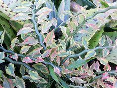 Euphorbia pedillanthus
