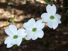 #dogwood #easter #thelegendofthedowood #mothersday #mothersdaygift #unique #flower #wallart #uniquegifts #artforsale #photography #easter #formom #momgifts #spring  #giftsformom #homedecor #interiordesign