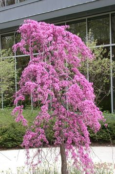 Weeping Redbud (spring bloom)