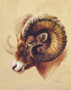 Ear reference, sheep shape though not furred. Horns should wrap around ears. Wildlife Paintings, Wildlife Art, Animal Paintings, Art Paintings, Animal Sketches, Animal Drawings, Art Drawings, Horse Drawings, Arte Aries