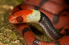 Check out these eyes!!!    Coral snake mimic (Siphlophis compressus)     A snake from South America that is completely harmless (despite it's outwardly appearance): unless you're a lizard of course ... nom nom nom!    Photographer: P Bertner
