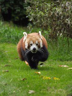 Birmingham zoo - Red panda 2009