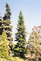 dwarf alpine fir trees