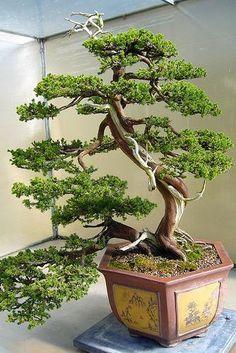 Bonsai Tree Growing Kit Japanese Bansai Seed by HandyPantry, $14.95