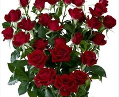 Rubicon - Spray Rose - Roses - Flowers by category | Sierra Flower Finder