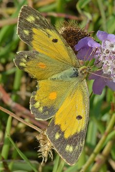 The Clouded Yellow is primarily an immigrant to the UK, originating from north Africa and Southern Europe | male