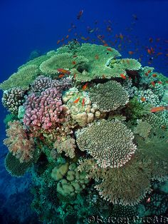 Table coral / Hard coral / Red Sea
