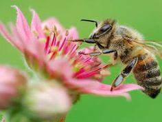 desktop backgrounds - Bees: http://wallpapic.com/animals/bees/wallpaper-10029