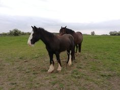 After a great start to his education, Chester is enjoying a few days on grass to fill his belly. Chester, Grass, Fill, Ireland, Horses, Education, Animals, Animaux, Horse