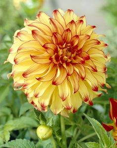 Garden Flowers Lady Darlene Dahlia Dinnerplate Form That Is A Great Ball Of Fire In The Garden, This Dahlia Has Rich Yellow-Gold Petals With Red Tips And Perfect Flower Form. A Magnificent Color Combination Fiesta Bulbs By Imogene Exotic Flowers, Amazing Flowers, Beautiful Flowers, Bulb Flowers, Flower Pots, Dahlia Flowers, Yellow Flowers Names, Family Garden, Garden Plants