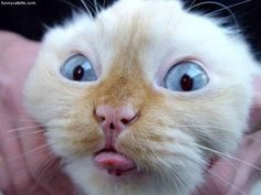 funny face #cat